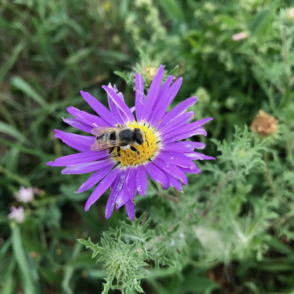 Bee in a purple flower