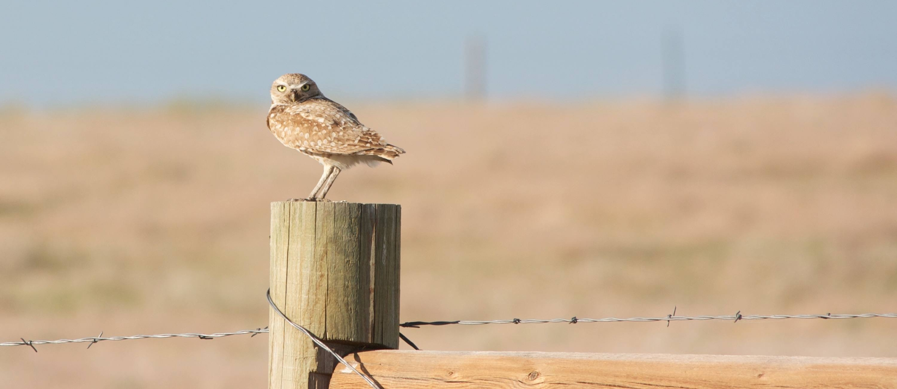 burrowing owl2