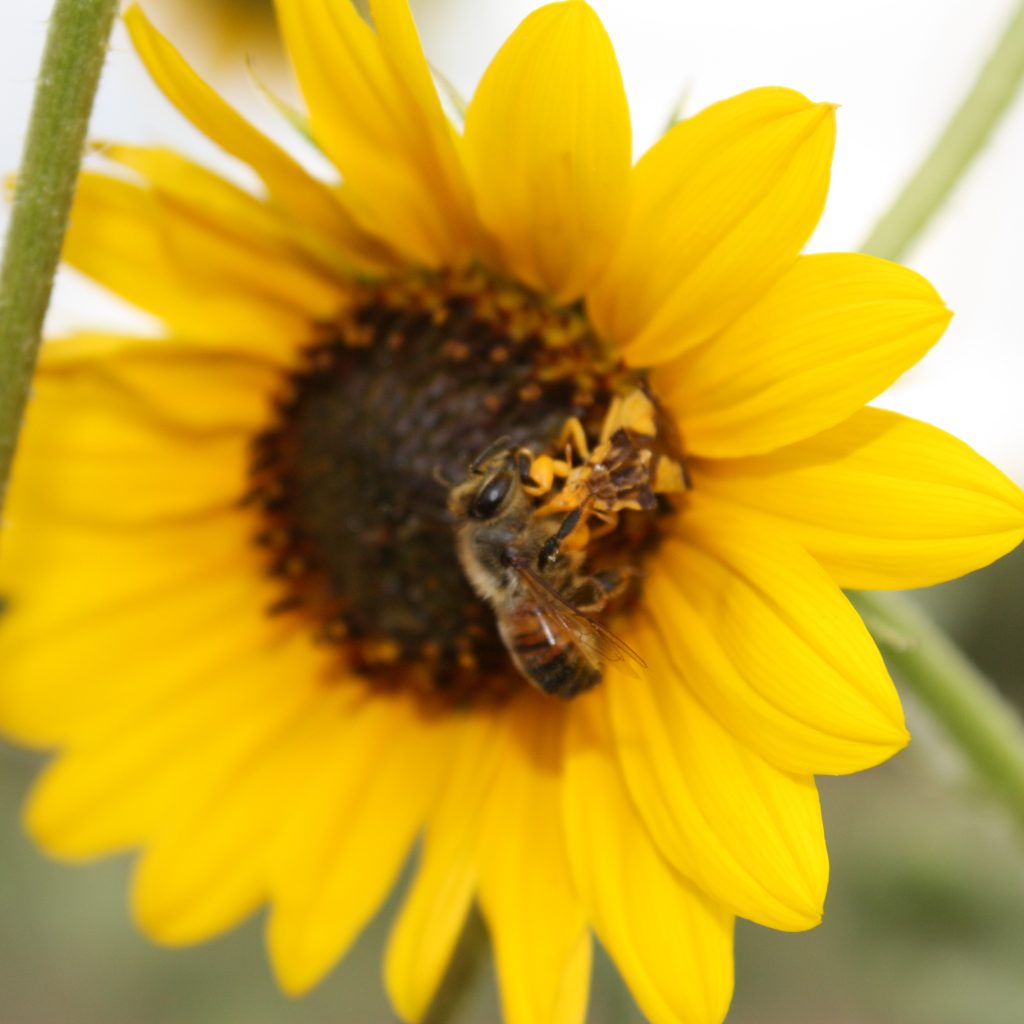 Closeup picture of a bee on a sunflower