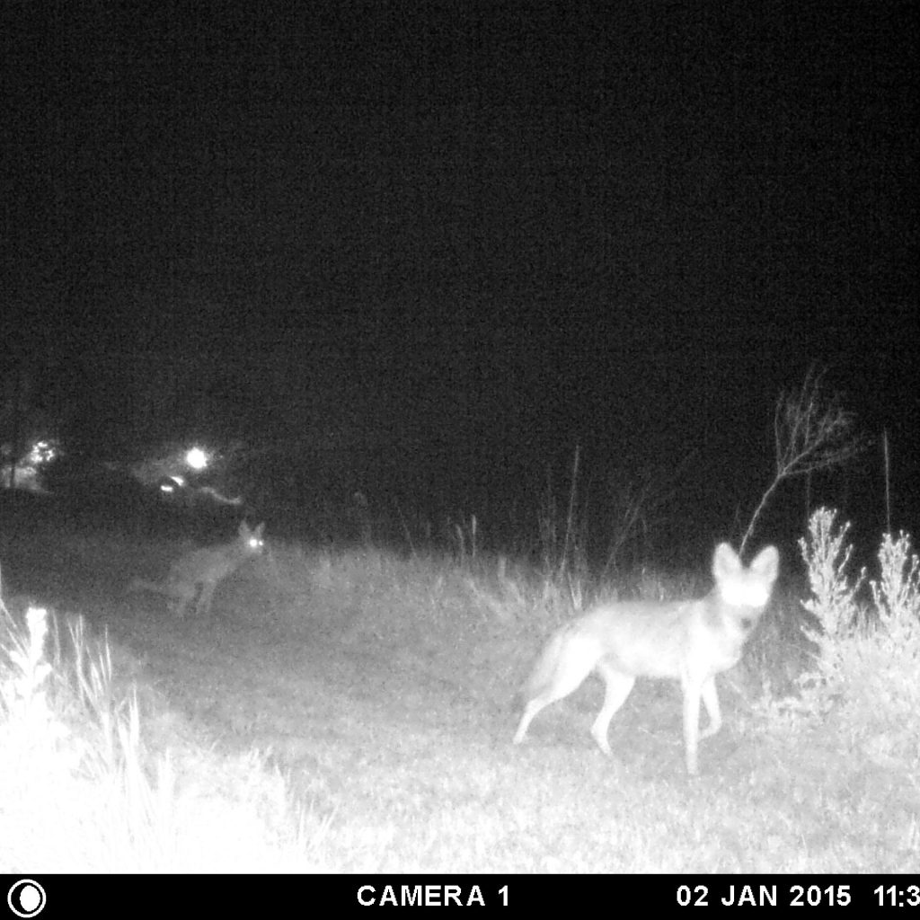 Black and white photo of a coyote at night